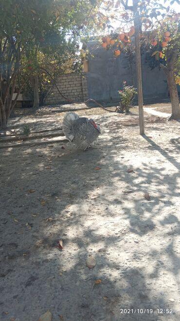 83 elan   HEYVANLAR: Salam cog gozel hunduskadi diri cekisi 7 klodu cetin tapilan rengi var