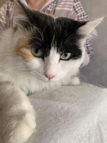 Красавица кошка!  1 год -стерелизованна, привита. Только в ответственн