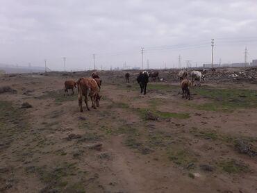 Животные - Остров Хазар: Mal Satilir 15 Baw Boyuk Mal 5 Baw Balasi Razilawma yoli ile Satilir
