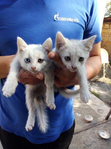 Коты - Кок-Ой: Отдаем котят в добрые руки. Один мальчик и одна девочка. Полупородисты
