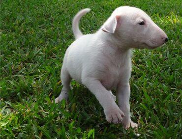 Τα κουτάβια του Bull TerrierΤο Dam είναι διαθέσιμο για να το δει ότι