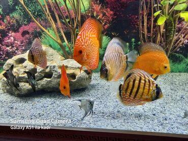 Akvarium satılır uzunluğu 2 m hündürü 55 eni 55 . Şkafı ilə birlikdə