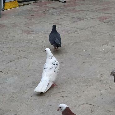 sabuncu - Azərbaycan: Qosa ebres cep qizgin erkekdi unvan sabuncu