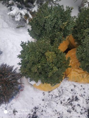 Шамшиты по низким ценам 1500 оптом 10шт минимум в Бишкек
