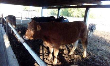 продаю тёлок стельных мясной породы в Бишкек