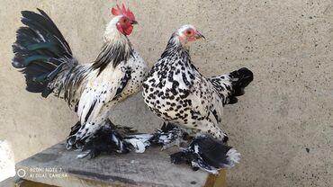 куплю-курей-брама в Кыргызстан: Принимаем заказы на яйцо и цыплят .Порода Мильфлер Серебро и Лимон