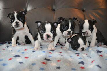 Kc Reg Boston Terrier Εμφάνιση ποιότητας έτοιμηΤώρα έτοιμα για τα