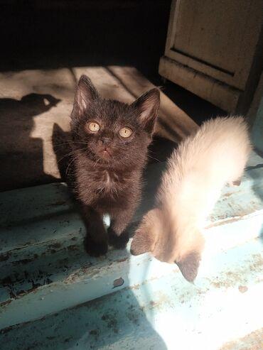 Находки, отдам даром - Беловодское: Отдаю котят в добрые руки, черный мальчик и чёрно-рыжая девочка