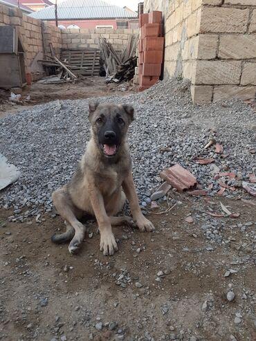 coban iti - Azərbaycan: Kangalnan qurtbasarin qarisiği coban iti satilir