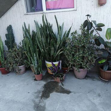 Комнатные растения в Ак-Джол: Денежное дерево