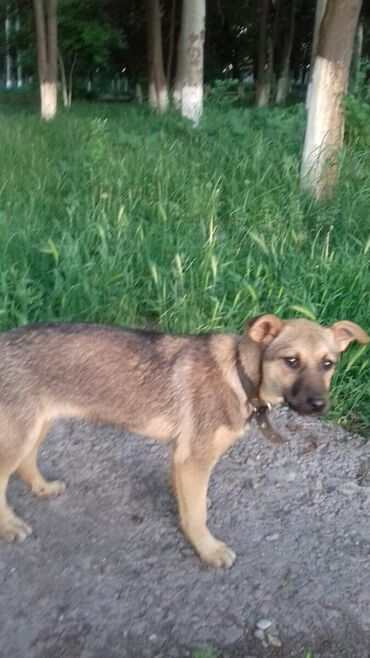 Собаки - Бишкек: Здравствуйте отдаю шенка в добрые руки