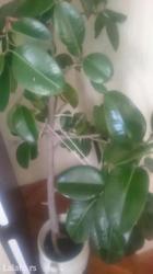 Sobno cveće, fikus, veliki i razgranat, idealan za kuću i poslovni pro - Pozarevac