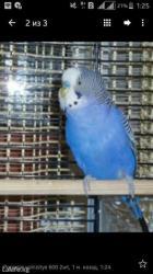 Волнистые попугаи в Кок-Ой