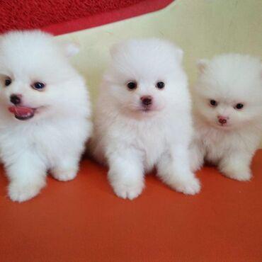 Για σκύλους - Αθήνα: Cute Pomernian puppies for sale   Cute Male and female Pomernian pupp