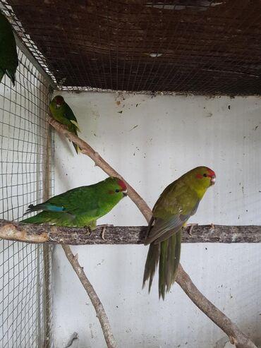 Продаётся эти попугаи