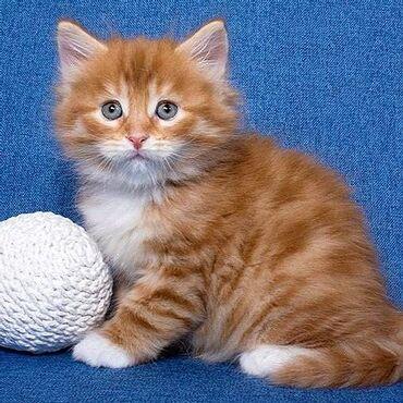 Γατάκια της Σιβηρίας. Πανέμορφα γατάκια διαθέσιμα για τα παντοτινά