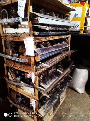 Бараны романовской породы - Кыргызстан: Продаю 6 месячных перепелов породы Фараон и Англ.черные (материнское с