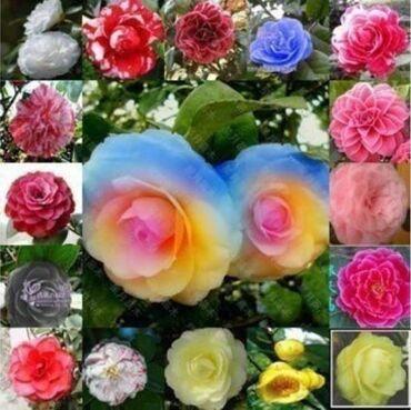 Semena   Srbija: Camelia(Mix boja)Veoma lepa i mirisna sobna biljka,listovi su