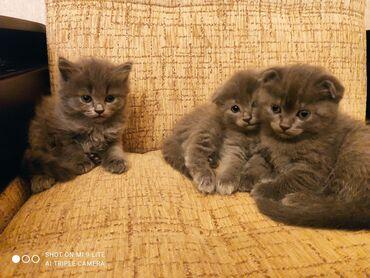 Pişiklər - Azərbaycan: Шотландские котята  Два мальчика две девочки Родились 16 февраля  Куша
