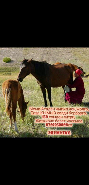 Продукты питания - Кыргызстан: Кымыз саамал таза натуральный 100% доставка по городу бесплатно