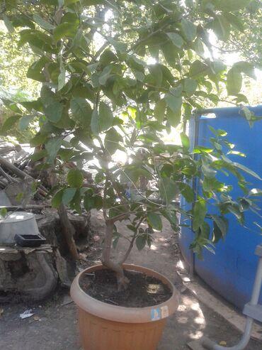 Лимоны - Кыргызстан: Продаю лимон