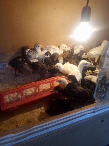 Животные - Каинды: Индюшата 50 штук село Эфиронос