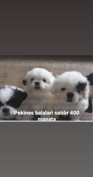 afcarka balalari satilir - Azərbaycan: Pekines balalari satılır 400 manata