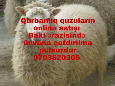 вытяжка встраиваемая в шкаф 50 в Азербайджан: Ягненок | Другая порода