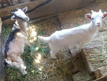 Животные - Ананьево: Козлята молочные. возраст 2 мес