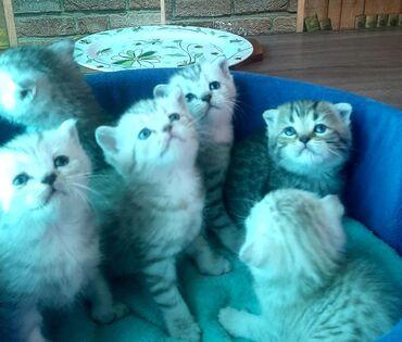 Продаются шотландские котята!Есть мальчики и девочки,вислоухие и