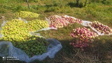 187 объявлений: Продаю яблоки Рашида, Апорт. Большие и очень вкусные яблоки. Цена