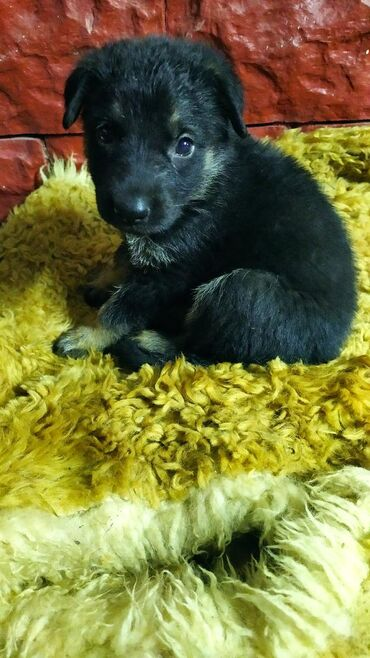 Животные - Кант: Продаётся щенок овчаренок, девочка 1.6 месяца, очень игривая