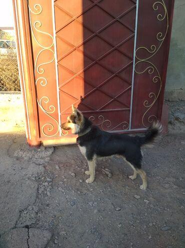 Продаю собаку (щенок) 12 мес смесь авчарка и лайка, больше похож на ла