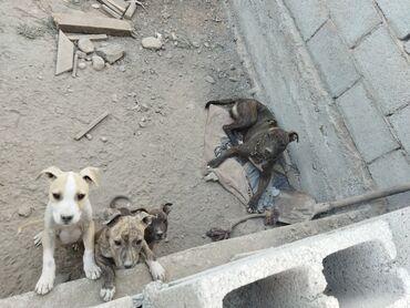 джек рассел терьер бишкек in Кыргызстан | СОБАКИ: Питбуль терьер щенки