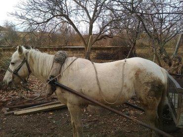 Qəşəng super yük atıdır dişi atdır 7 Yasin icindədir furğun la