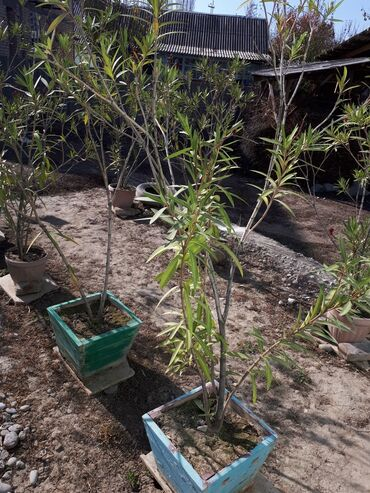 Комнатные растения - Узген: Пальмы