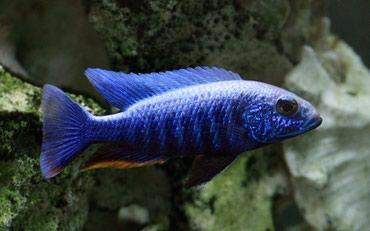 Bakı şəhərində Aizberq malavi sularının balığı yerli artım