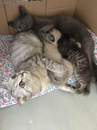 Коты - Кыргызстан: Продаются котята (на фото представлены котята первого помета)