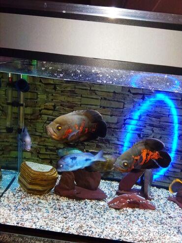 сигнализация ягуар в Кыргызстан: Продаю аквариумные рыбы большие цихлиды, большой выбор от 15см до