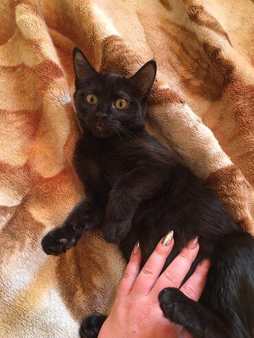 лоток для кошек бишкек in Кыргызстан | ЗООТОВАРЫ: Отдам кошечку в хорошие руки. Девочка 4 месяца.  Без глистов и блох, р