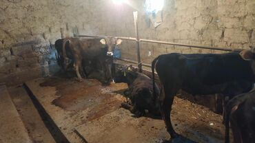 купить-быка-на-мясо в Кыргызстан: Продаю быков 10 голов возраст 10-11 месяцев За голову. Обмен не