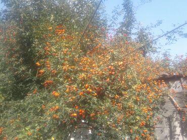 Другие продукты питания - Кыргызстан: Шиповник экологически чистый растет в огороде большой куст---;;
