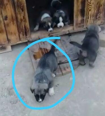 Heyvanlar - Azərbaycan: Salam 2 bala qalib 2 si de disidi. Anasinin sekli var anasi yaxsu