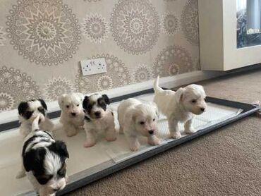 Κουτάβια Biewer TerrierΤα κουτάβια μεγαλώνουν στο οικογενειακό σπίτι