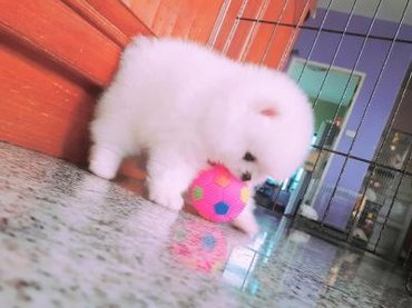 Gorgeous Teacup Pomeranian pups for sale, 1 male and 1 female, AKC - Zrenjanin