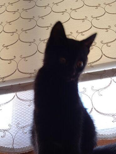 котенок в Кыргызстан: Черныш котенок в хорошие руки