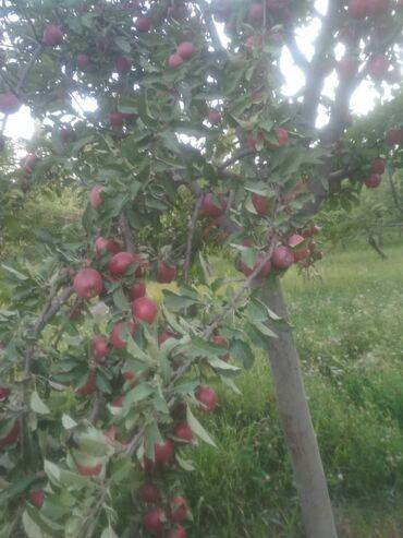 40 объявлений: Продается яблоки сочные город Баткен