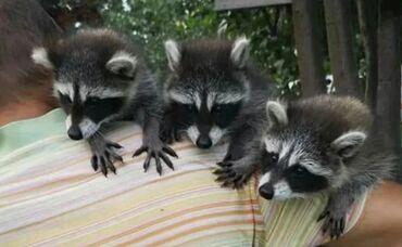Животные - Красная Речка: Продаю енотов домашних ручных!!!🖐