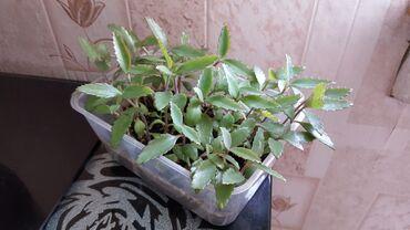 Другие комнатные растения - Кыргызстан: Каланхоэ лечебный