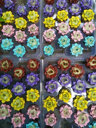 Kaktus - Azərbaycan: Суккуленты.Производитель: Нидерланды.Цены: 15-20 азн. Онлайн заказы